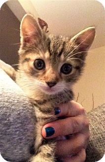 Domestic Shorthair Kitten for adoption in River Edge, New Jersey - Apache
