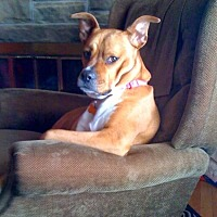 Boxer/American Pit Bull Terrier Mix Dog for adoption in Dearborn, Michigan - Bossy