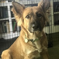 German Shepherd Dog Dog for adoption in Morrisville, North Carolina - Mika