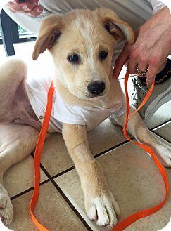 Golden Retriever Mix Puppy for adoption in BIRMINGHAM, Alabama - Boots