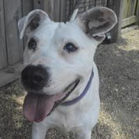 American Pit Bull Terrier Mix Dog for adoption in Lafayette, Indiana - Ethel May