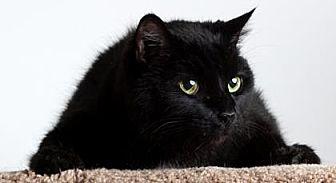 Domestic Shorthair/Domestic Shorthair Mix Cat for adoption in Reno, Nevada - Jadine