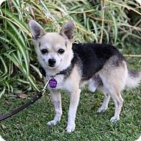 Adopt A Pet :: BADGER - Newport Beach, CA