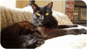 Domestic Mediumhair Cat for adoption in Sacramento, California - Serena