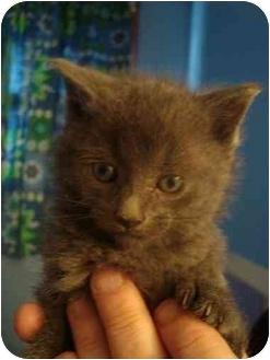 Russian Blue Kitten for adoption in Sunderland, Ontario - Petrie