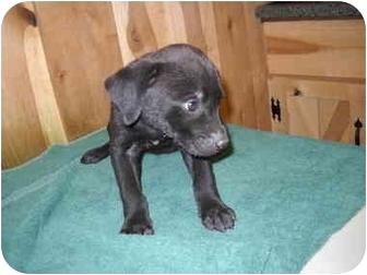 Labrador Retriever Mix Puppy for adoption in Foster, Rhode Island - Katie