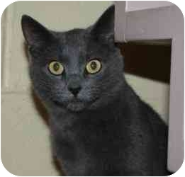 Domestic Shorthair Cat for adoption in Belleville, Illinois - Granite
