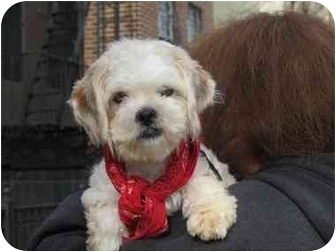Lhasa Apso/Poodle (Miniature) Mix Puppy for adoption in Long Beach, New York - Toby