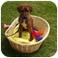 Photo 1 - Bloodhound/Bullmastiff Mix Puppy for adoption in San Clemente, California - BABY HUEY - Cute Puppy!