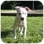 Photo 1 - American Pit Bull Terrier Mix Puppy for adoption in Reisterstown, Maryland - Frank