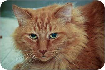 Domestic Shorthair Cat for adoption in Chicago, Illinois - Nicholas