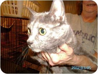 Domestic Shorthair Cat for adoption in Tipton, Iowa - Tiffers