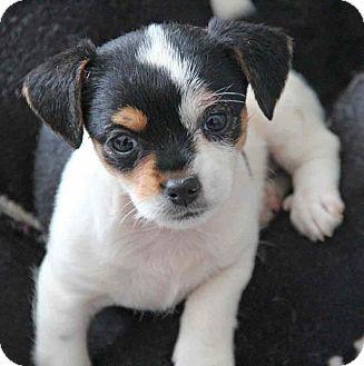 Chihuahua/Pug Mix Puppy for adoption in Yuba City, California - Macy