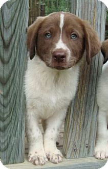 Spaniel (Unknown Type) Mix Puppy for adoption in Hagerstown, Maryland - Teddy