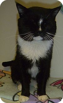 Domestic Shorthair Cat for adoption in Hamburg, New York - William
