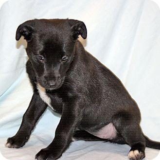 Schipperke/Labrador Retriever Mix Puppy for adoption in Howell, Michigan - Schipperkee Female