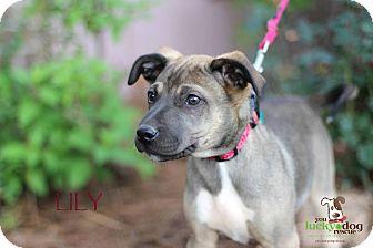 German Shepherd Dog Mix Puppy for adoption in Alpharetta, Georgia - Lily