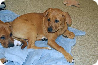Boxer Mix Puppy for adoption in Minneola, Florida - Payton