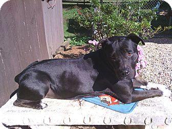 American Staffordshire Terrier Mix Dog for adoption in Blue Ridge, Georgia - Jorgia