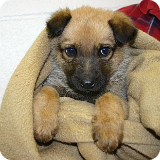 Shepherd (Unknown Type) Mix Puppy for adoption in Pinehurst, North Carolina - Wolfie