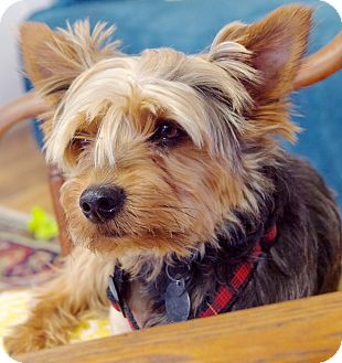 Yorkie, Yorkshire Terrier/Terrier (Unknown Type, Small) Mix Dog for adoption in Homewood, Alabama - Gizmo