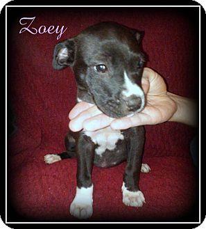 Labrador Retriever/Boxer Mix Puppy for adoption in Denver, North Carolina - Zoey