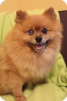 Pomeranian Dog for adoption in Hamburg, Pennsylvania - Frankie