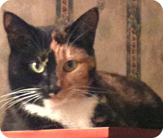 Manx Cat for adoption in Chattanooga, Tennessee - Artemis