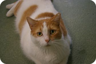 Domestic Shorthair Cat for adoption in Brooksville, Florida - Peaches