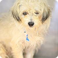 Adopt A Pet :: Mr Chips - Phoenix, AZ