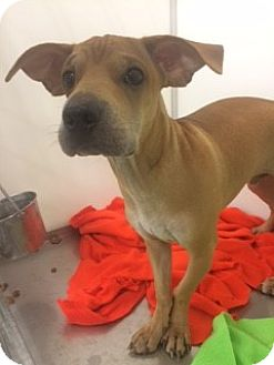 Shar Pei/Basset Hound Mix Dog for adoption in Fort Worth, Texas - TEATHER