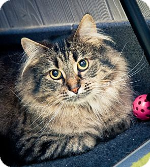 Maine Coon Cat for adoption in Cannon Falls, Minnesota - Pumpkin