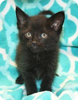 Domestic Mediumhair Kitten for adoption in Cottageville, West Virginia - Floki