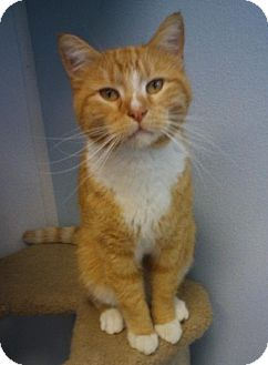 Domestic Shorthair Cat for adoption in Knoxville, Iowa - Rizzo
