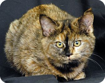 Domestic Shorthair Cat for adoption in Newland, North Carolina - Nugget