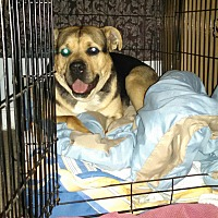 Rottweiler/German Shepherd Dog Mix Dog for adoption in Bakersfield, California - Nolan