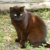 American Shorthair Cat for adoption in Naples, Florida - Ruby