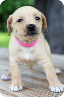 Beagle/Terrier (Unknown Type, Small) Mix Puppy for adoption in Waldorf, Maryland - Bebe