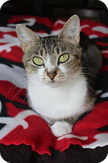 Domestic Shorthair Cat for adoption in Marietta, Georgia - Bridget