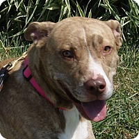 Pit Bull Terrier Mix Dog for adoption in Monroe, Michigan - Lilith