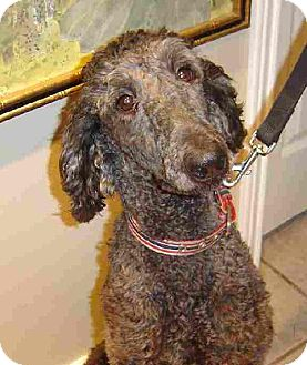 Poodle (Standard) Dog for adoption in Texarkana, Texas - Dee ADOPTED LA