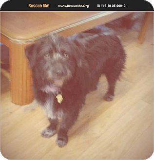 Schnauzer (Miniature)/Australian Shepherd Mix Dog for adoption in Madison, Tennessee - Ariel - quiet and cuddly