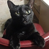 Domestic Shorthair Cat for adoption in Germantown, Maryland - Piper
