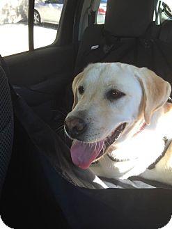 Labrador Retriever Dog for adoption in Litchfield Park, Arizona - Captain