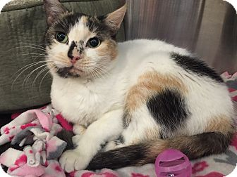 Domestic Shorthair Cat for adoption in Peace Dale, Rhode Island - Stiletto