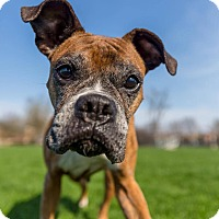 Adopt A Pet :: Sweets - Frankfort, IL