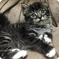 Adopt A Pet :: Curly St. Stooge (KC) 4.15.17 - Orlando, FL