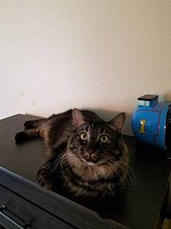 Domestic Mediumhair Cat for adoption in Fullerton, California - Pumy