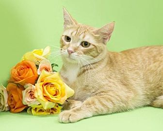 Domestic Shorthair Cat for adoption in Oviedo, Florida - Honey