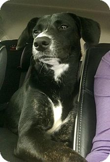 Beagle/Labrador Retriever Mix Dog for adoption in Tampa, Florida - Jonesy FOSTER NEEDED